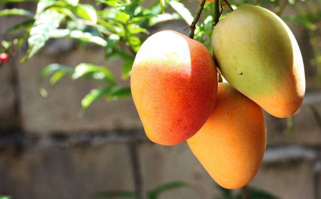 Benefits of Organic Mangoes